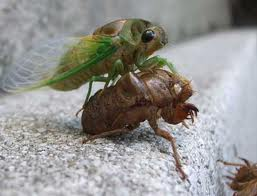 Cicada emerging from its skin
