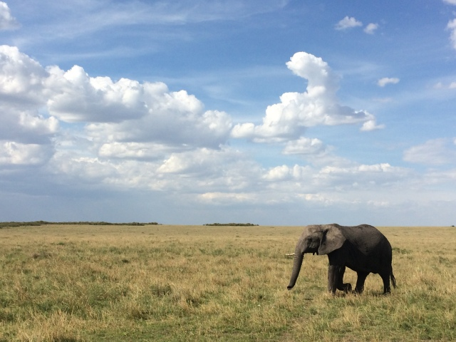 Elephant in the Maasai Mara, Kenya